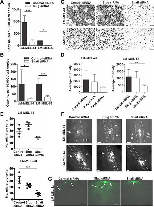 Depletion of snail inhibits melanoma invasion in vitro and in vivo.