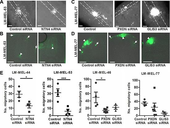 Depletion of PXDN, NTN4 and GLIS3 inhibits melanoma invasion in the chicken transplantation model.