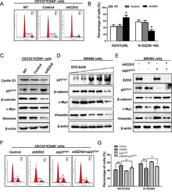 EZH2 knockdown inactivated the Wnt/β-catenin signaling pathway by increasing p21cip1 expression, leading to G1/S phase arrest.
