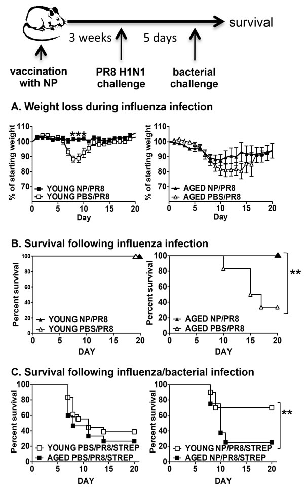 Protection from influenza and secondary bacterial infection by NP vaccination.