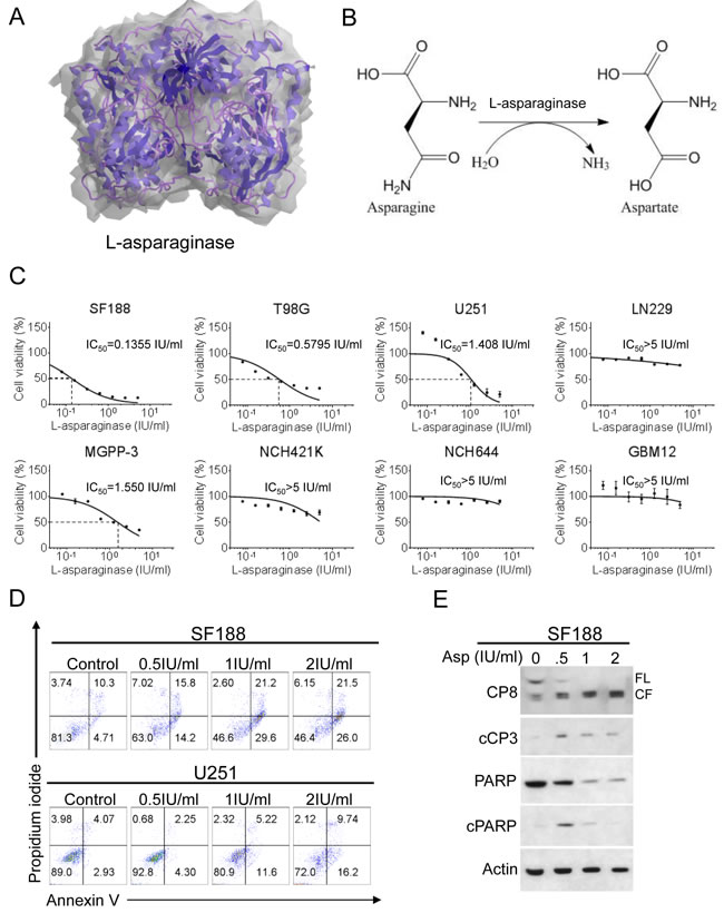 Treatment with L-asparaginase (Asp) inhibits proliferation and induces apoptosis across different glioblastoma cells.