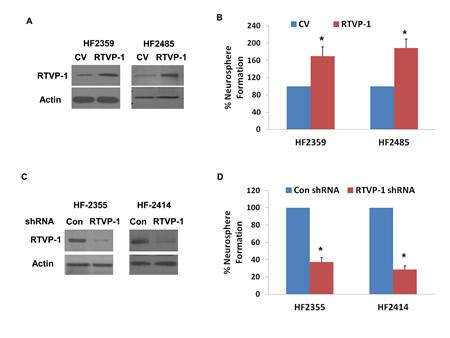 RTVP-1 regulates the self-renewal of GSCs and mediates miR-137 effect.
