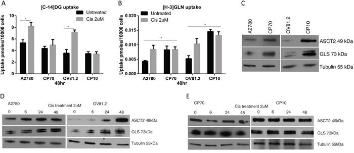 Cisplatin resistant cells are glutamine dependent.