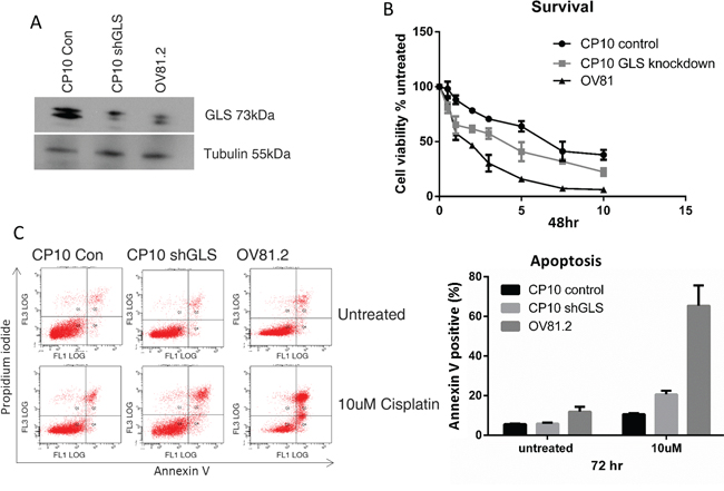 Loss of GLS expression re-sensitizes resistant cells to cisplatin.