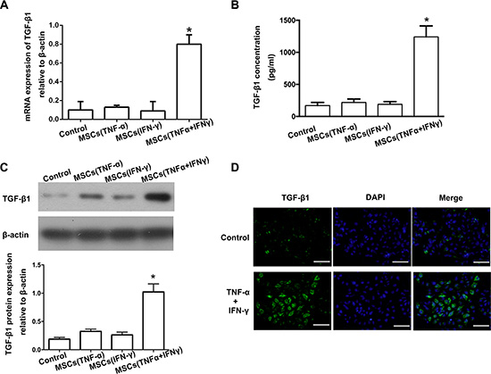TGF-β1 was up-regulated in the culture supernatant of MSCs after being stimulated by TNF-α and IFN-γ.