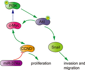 Potential signaling pathway utilized by miR-374a to suppress proliferation, invasion and migration in colon cancer.