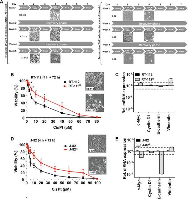 CisPt resistant UC cell variants obtained by long-term selection with CisPt display an intensified mesenchymal phenotype.