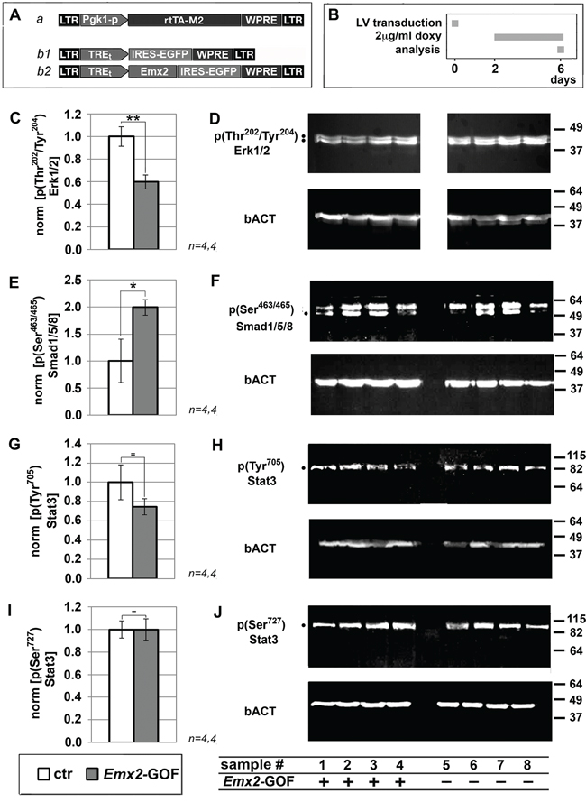 Immunoprofiling of Emx2 gain-of-function GBM cultures for key intracellular signalling transducers.