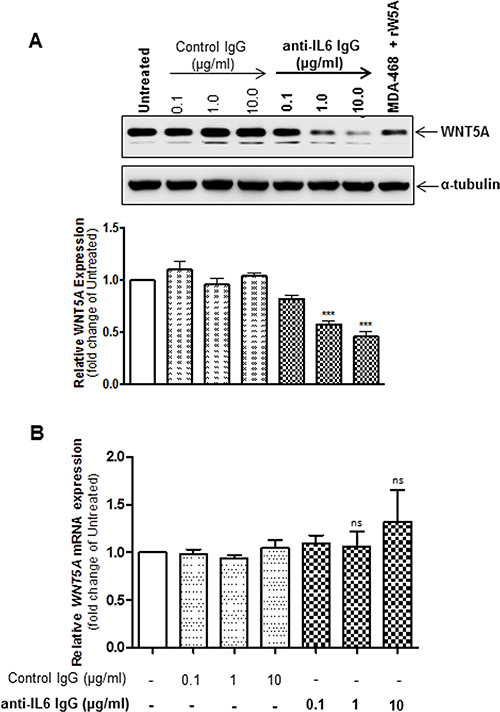Inhibition of IL-6 signalling reduces WNT5A proteins expression but not WNT5A mRNA expression in WM852 cells.