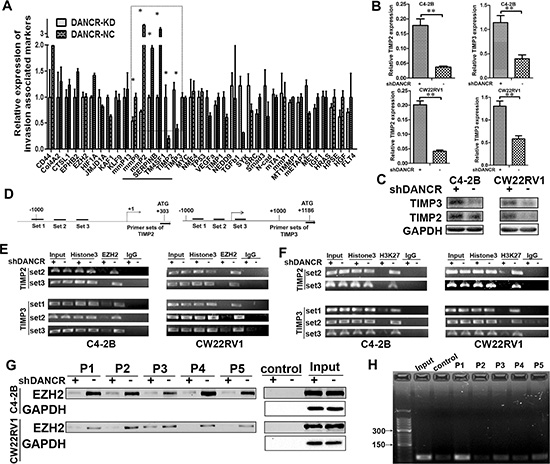 DANCR regulates TIMP2/3 expression by mediating the binding of EZH2 on its promoter.