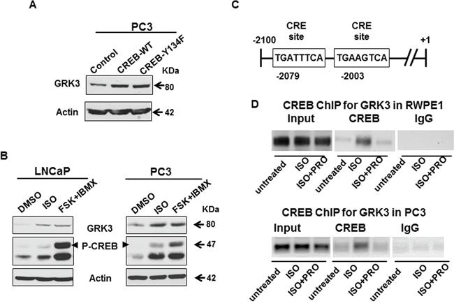 Figure 4.GRK3 is a direct transcriptional target of CREB activation.