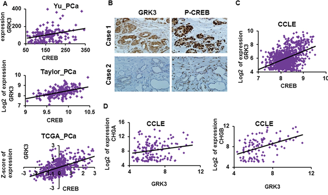 GRK3 expression positively correlates with CREB and NE marker expressions.