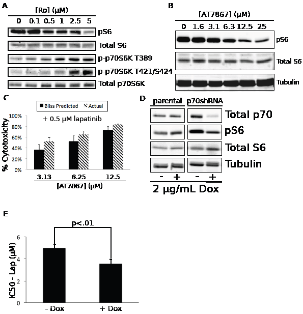 Inhibition of p70S6K mediates the synergistic effects of Ro31-8220 in combination with lapatinib.