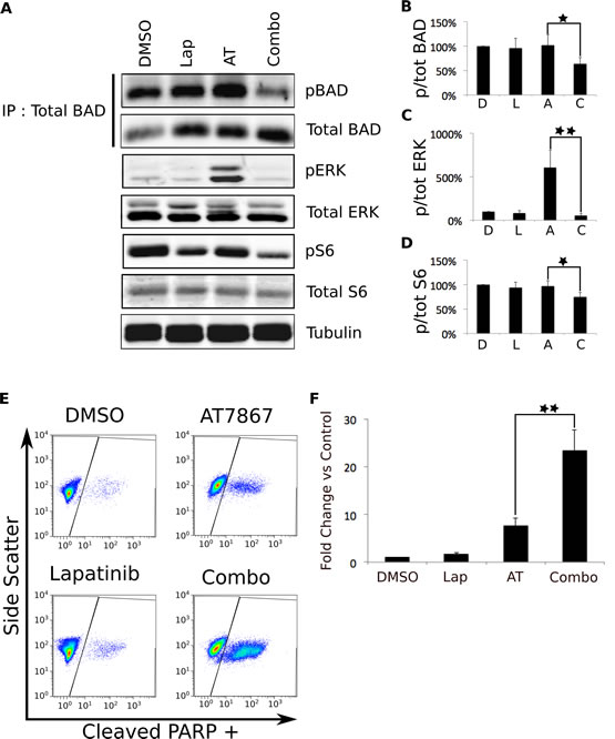 Simultaneous inhibition of EGFR and p70S6K leads to apoptosis that may be mediated through BAD hypophosphorylation.