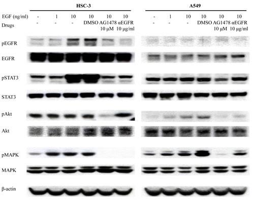EGFR-TKI inhibits phosphorylation of molecules related to downstream signaling of EGFR.