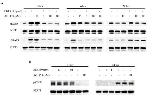 EGFR-TKI increases phosphorylation of STAT3.