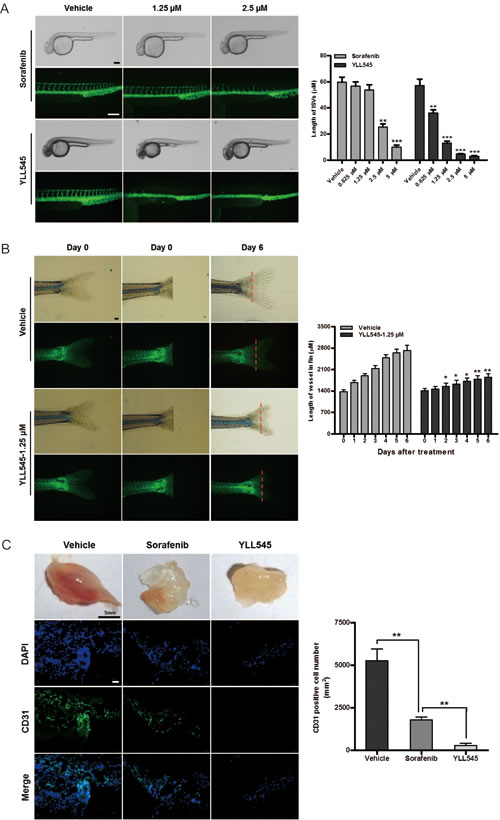 YLL545 inhibits angiogenesis