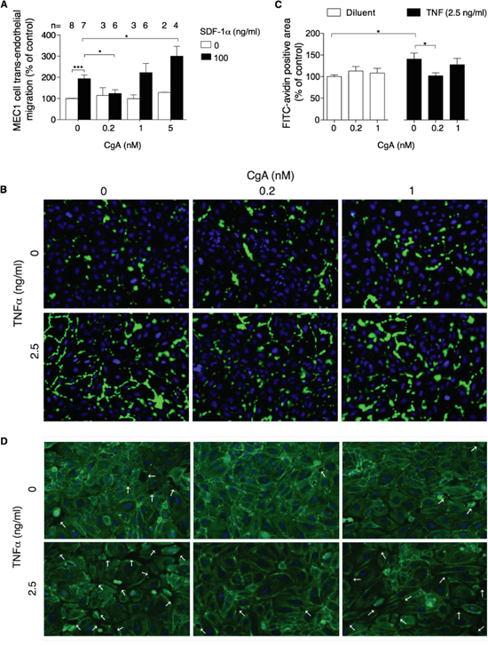 Effect of CgA on MEC1 cell trans-endothelial migration and on endothelial cell permeability.