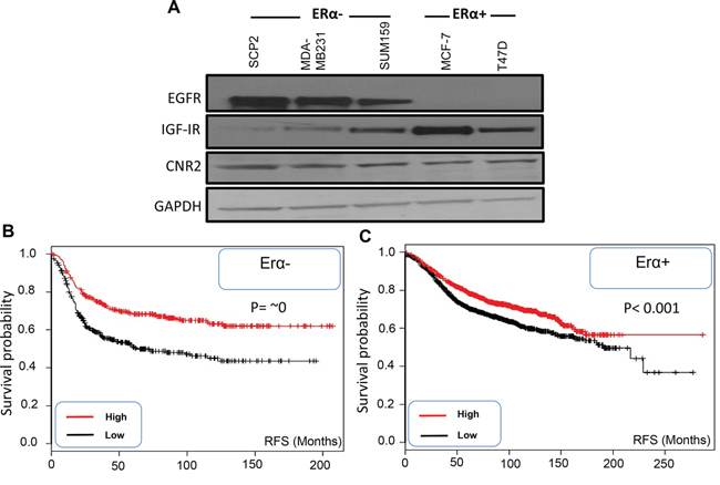 Expression of EGFR, IGF-IR and CNR2 proteins in ERα- and ERα+ breast cancer cells and correlation of CNR2 to breast cancer patient prognosis.