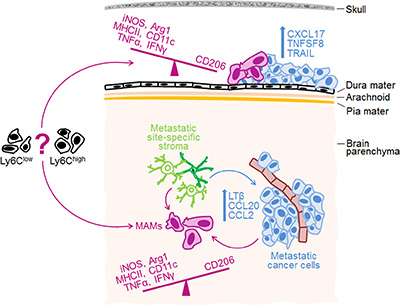 Proposed model for site-specific regulation of MAM phenotypes in intracranial metastases.