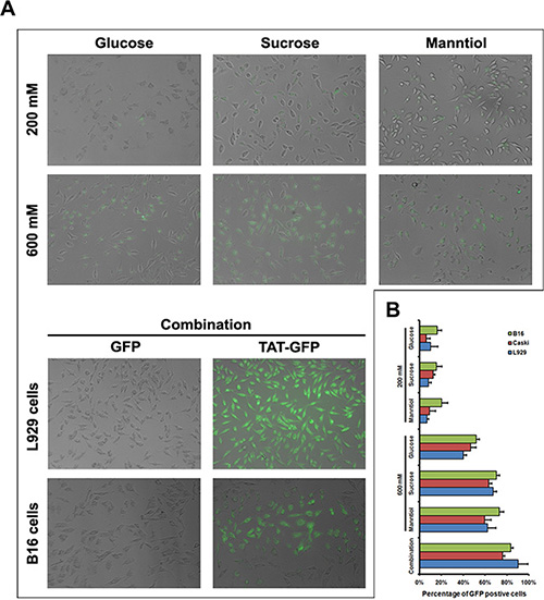 TAT-GFP fusion protein penetration enhanced by glucose, sucrose and manntiol combination.