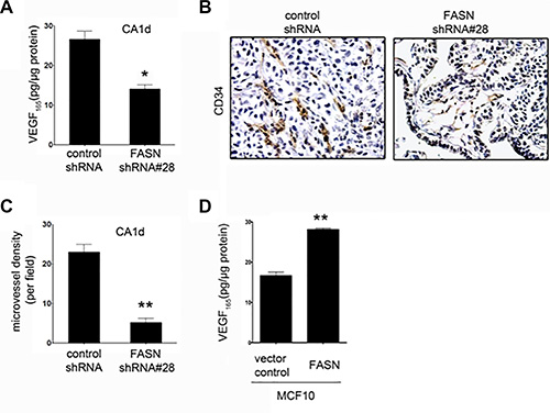 FASN depletion reduces VEGF secretion and angiogenesis in CA1d cells.