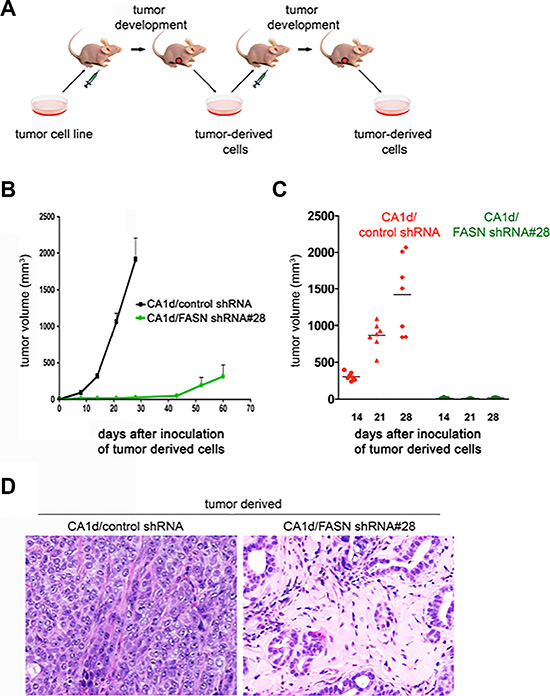 FASN depletion promotes a dormant-like phenotype as tumor-derived FASN-negative cells maintain a non-malignant phenotype after a second passage in vivo.