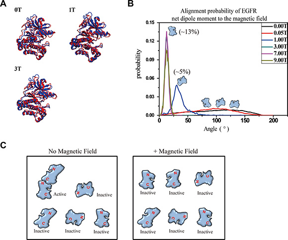 Molecular dynamics simulation shows that 1-9T SMFs affect orientation of EGFR-KD.