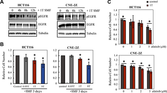 1T and 9T SMFs inhibit EGFR expressing HCT116 and CNE-2Z cancer cells.