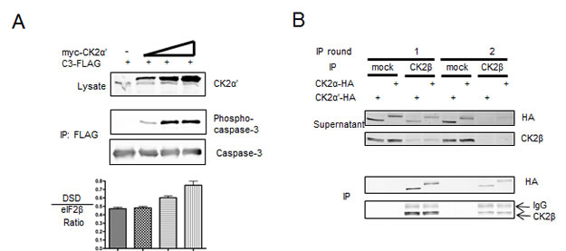 Investigation of CK2 form in cell lysates reveals a predominately holoenzyme form.