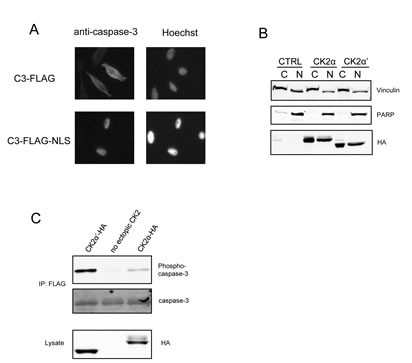 Redirecting C3-FLAG to the nucleus does not alter the relative levels of phosphorylation.