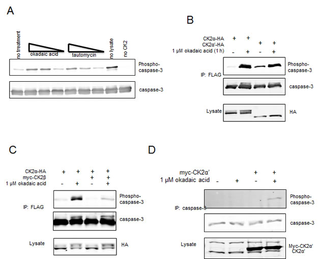 Exclusion of CK2α-HA from C3-FLAG phosphorylation is not governed by endogenous CK2β in HeLa cells.