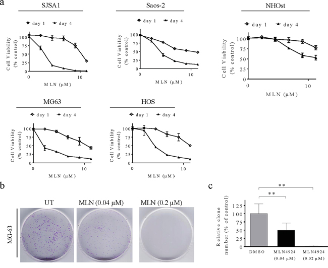 MLN4924 reduces human OS cell viability.