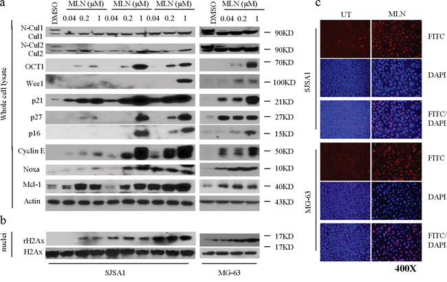 MLN4924 inhibits neddylation of cullins and induces accumulation of CRL substrates in OS cells.