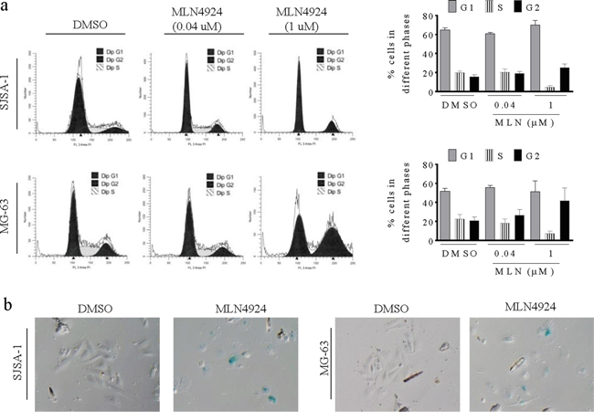 MLN4924 arrests cell cycle in the G2 phase and induces senescence in OS cell lines.