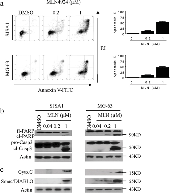 MLN4924 induces apoptosis in OS cell lines.