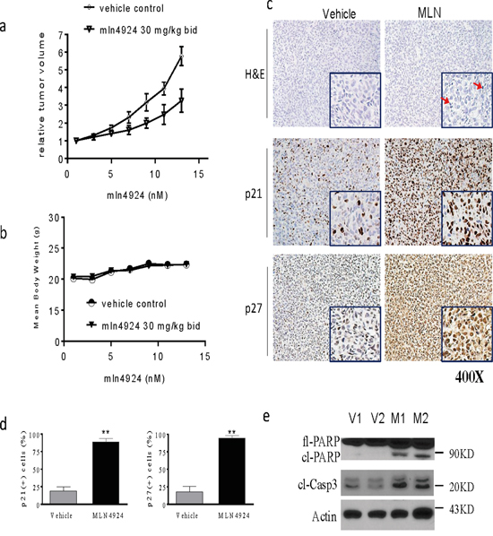MLN4924 inhibits tumor growth in subcutaneous OS models.