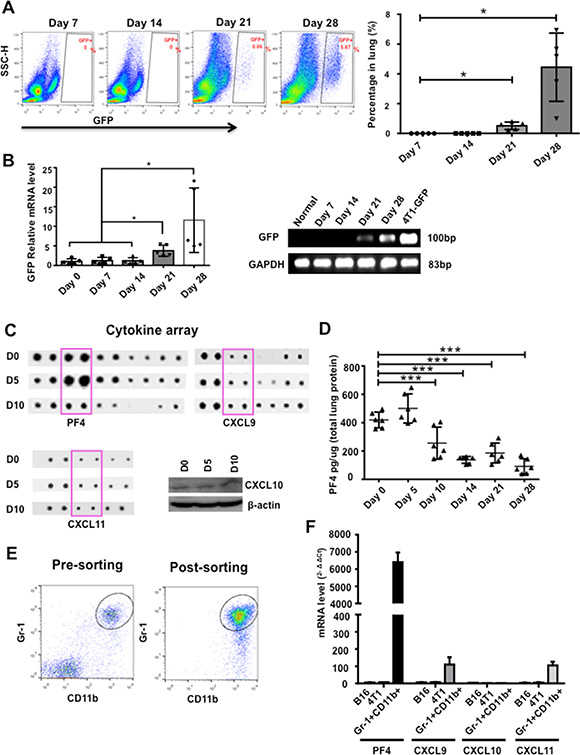 PF4 was induced in premetastatic lung of mice bearing tumors. (A