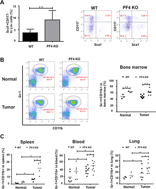 Increased hematopoietic progenitor cells and Gr-1+CD11b+ cells in PF4 KO mice and WT control animals.