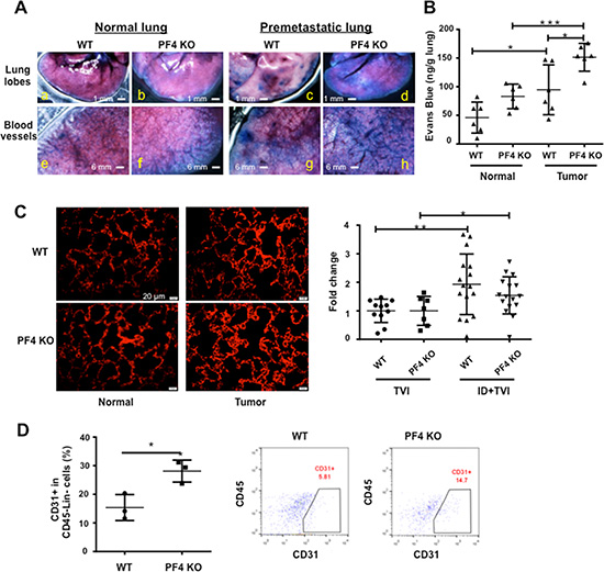 Blood vessel leakage and CD31+ cells are increased in the premetastatic lungs of PF4 KO mice.