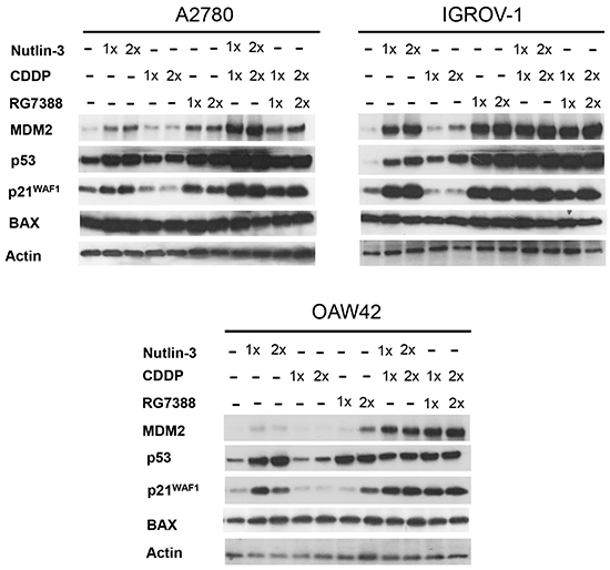 Combination of Nutlin-3/RG7388 with cisplatin increased stabilization of p53 and upregulation of its downstream targets, MDM2 and p21WAF1 compared to cisplatin on its own.