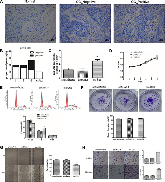 Lnc-CC3 over-expression increased migration and invasion in SiHa cells in vitro.