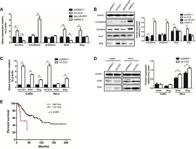 Lnc-CC3 promoted EMT in cervical cancer cells by increasing Slug expression.