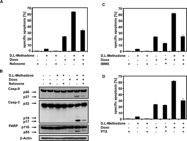 Combination treatment with D,L-Methadone and doxorubicin induced apoptosis depends on opioid-receptor triggering via downregulation of cAMP.
