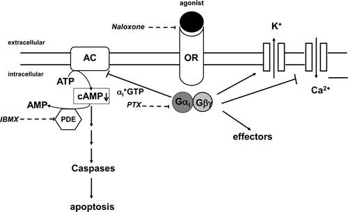 Opioid receptor signaling.