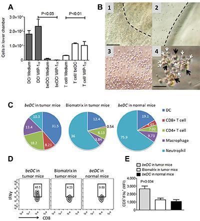 DCs in fibrin scaffolds facilitate immune cell movement ex vivo and in vivo.