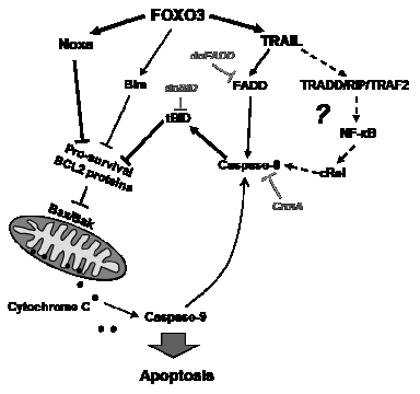 Model for FOXO3-induced apoptosis in T-ALL.