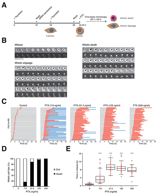 Paclitaxel induces mitotic cell death in a concentration-dependent manner.