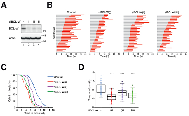 Depletion of BCL-W with multiple siRNAs accelerates mitotic cell death.