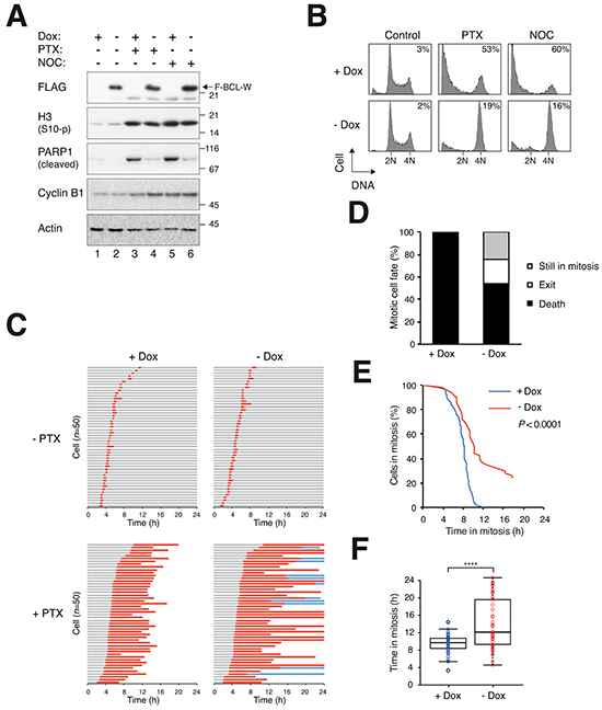 Delay of mitotic cell death by ectopic expression of BCL-W.